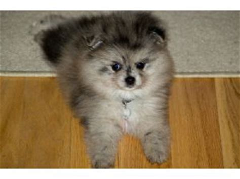 pomeranian puppies for sale nc pomeranian puppies in pennsylvania