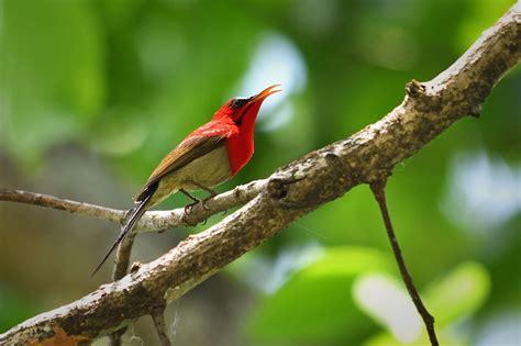 asim saha asim crimson sunbird anirban saha
