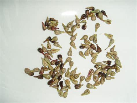 best grape seed jerusalem wildflowers herbs trees israel health