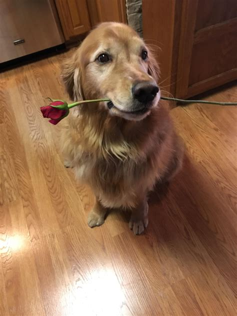 golden retriever best 19 reasons golden retrievers are the best dogs dogbuddy