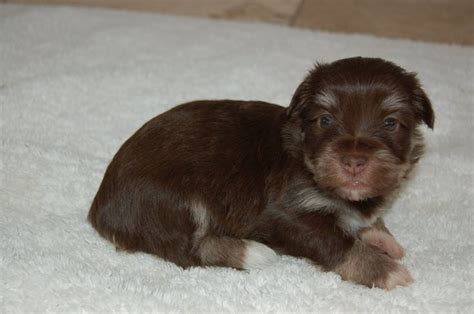 havanese puppies maine top 59 ideas about havanese on dogs home and mugs