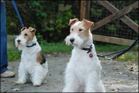 Fox Bulu Bulu fox terrier escaparatedemascotas