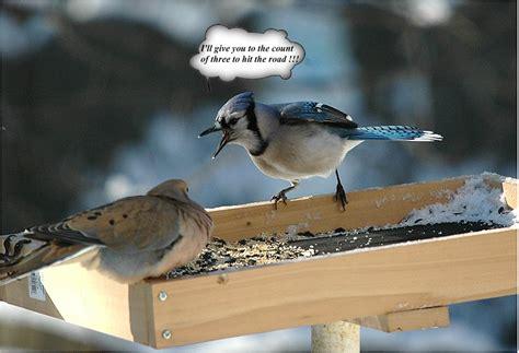 blue jay scolding a mourning dove photo charlie lentz