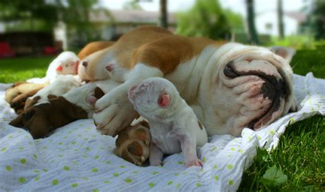 free puppies evansville indiana bulldog breeders evansville indiana dogs breed sierramichelsslettvet