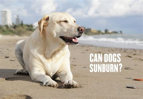 can dogs get sunburn can dogs sunburn allivet pet care