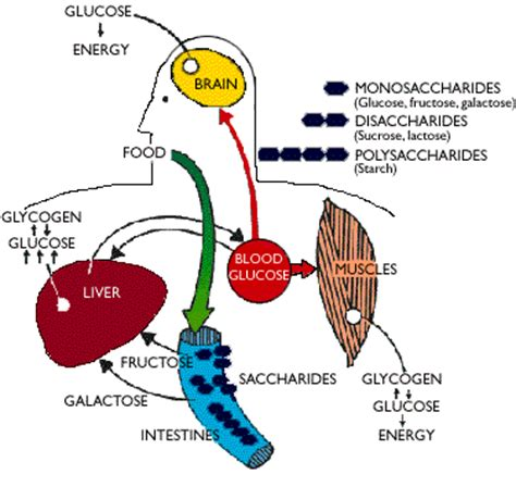 carbohydrates location in carbohydrates all about biochemistry