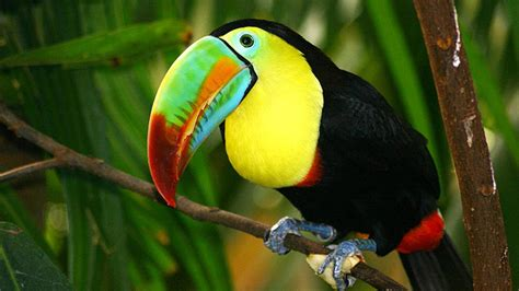 toucan enclosure colorful beak yellow throat  breast