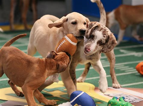 puppy football not a football fan there s always puppy bowl x blogdailyherald