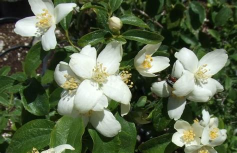 fragrant trees with white flowers fragrant trees with white flowers 28 images flowers