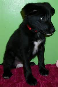 Border collie lab mix puppies black breed border collie black lab