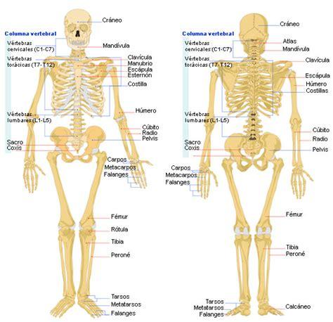 el cuerpo humano esqueleto humano con el nombre de los huesos huesos humanos drawing tips draw