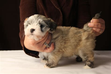 fawn havanese havanese puppies ready september 2017 akc havanese puppies
