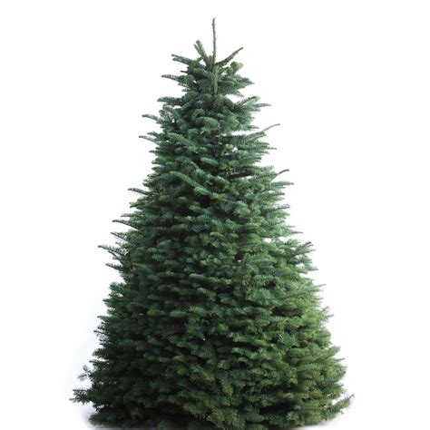 shop 7 8 fresh cut noble fir christmas tree at lowes com