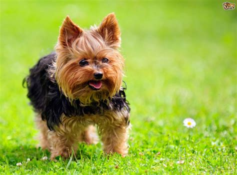 10 of the most popular small dog breeds within the UK