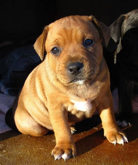 havanese puppies scotland max 18 4 9 4 jpg 800 215 955 lil puppies pups staffy pups