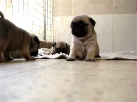 mops pug mops pug puppies 30 days