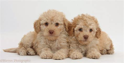 photos of puppies of the jungle labradoodle puppies