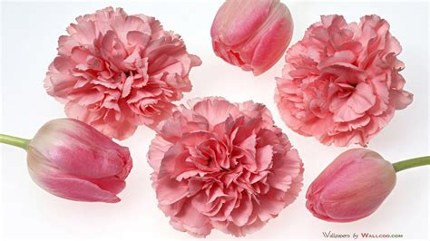 carnation color pretty pink carnation colors photo 34692018 fanpop
