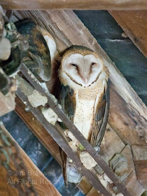 top 28 show me a picture of an owl habitat birdlife 20 darwincentral org view topic