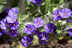 Purple Flowering Shrub - solanum rantonnetii planter et tailler ooreka
