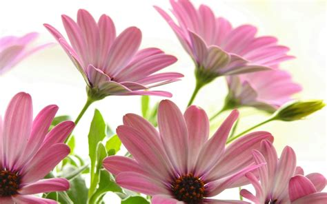 wallpaper nature flower pictures pink daisies wallpaper flowers nature wallpapers in jpg