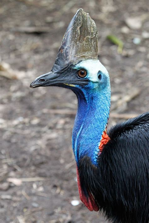 southern cassowary perth zoo