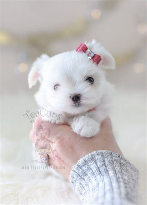maltese puppies for sale in ms teacup puppies for sale teacups puppies boutique
