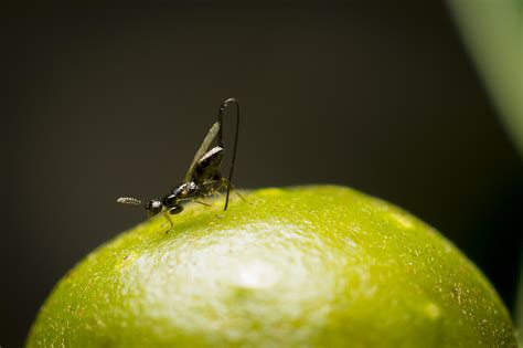 Life Cycle Of A Fruit Tree - the secret life of figs or how we eat wasps pre tend be curious