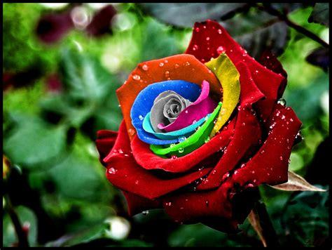 amazing rainbow roses favbulous
