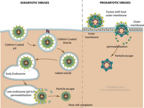 z protein lassa virus viral via permeabilization of host membrane
