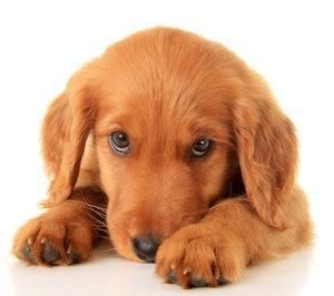how to look after a golden retriever how to look after a puppy golden retriever photo