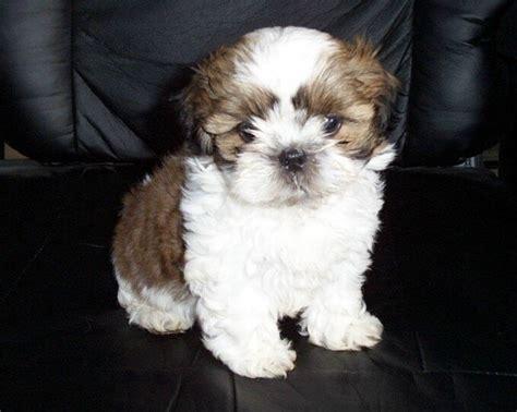 shih tzu collars your shih tzu puppy