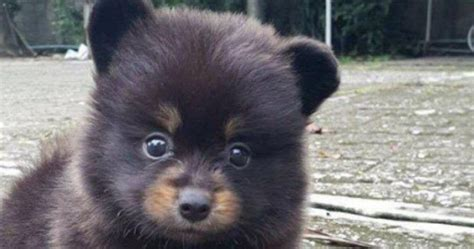 puppy that looks like a cub looks like a the best of 2018