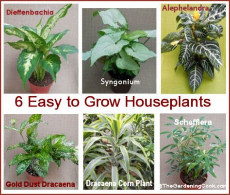 plants easy to grow indoors easy houseplants to grow 6 favorites the gardening cook