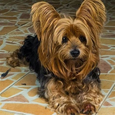 yorkshire short cuts yorkshire terrier google