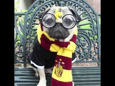 pug harry potter harry potter pug edition