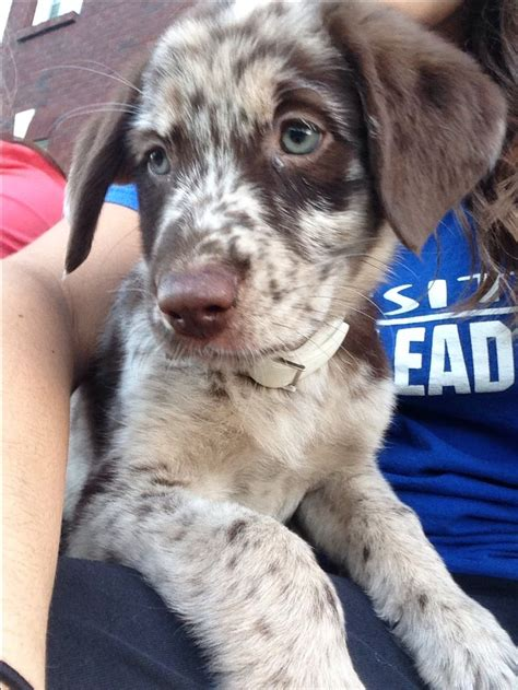 lab australian shepherd mix puppies for sale chocolate lab australian shepherd mix puppies for sale breeds picture