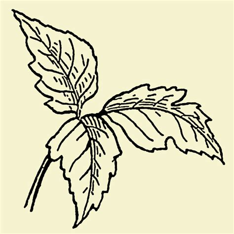ivy joy coloring pages poison oak coloring pages printable coloring pages