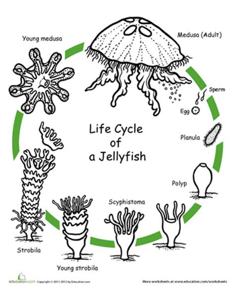 cycle of plants and animals worksheets animal cycle coloring pages education