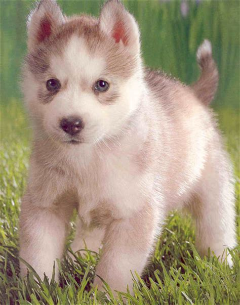 husky puppies for sale in san antonio 4 siberian husky puppies coming soon in san antonio tx pets for sale locopost