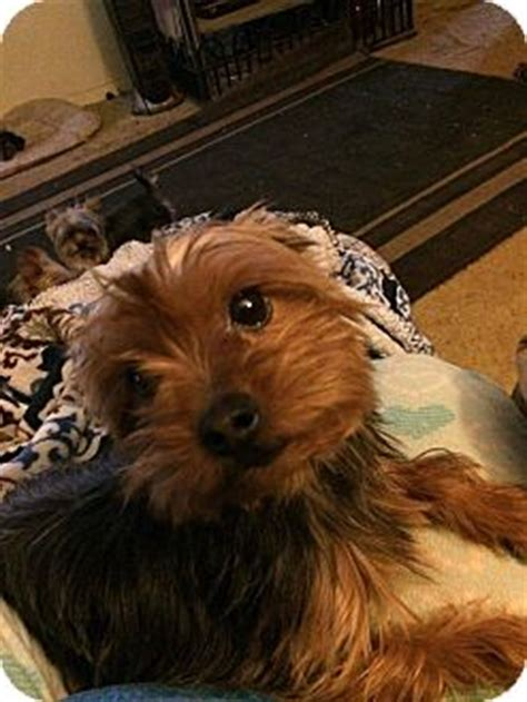 yorkie rescue manchester rebel pending adoption adopted manchester ct yorkie terrier mix