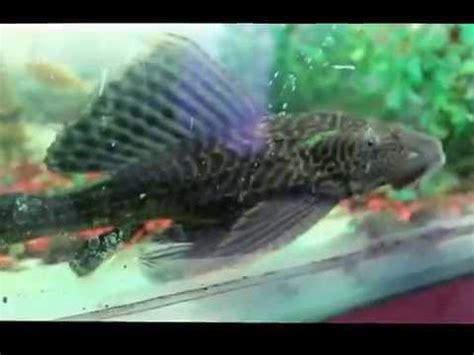 Makanan Ikan Hias Sapu Sapu ikan louhan nonong jumbo srd pearly by pasar ikan hias