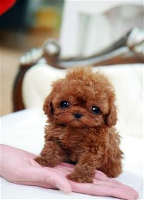 teacup poodle shih tzu mix for sale 1000 images about shih poo on shih tzu mix poodles and shih tzu