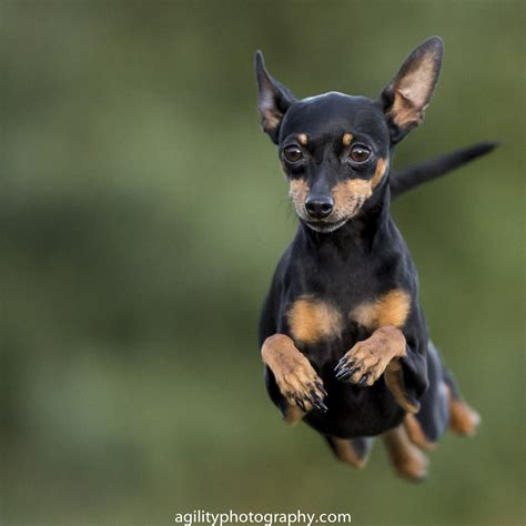 puppy pin agility miniature pinscher х miniature pinscher zwergpinscher