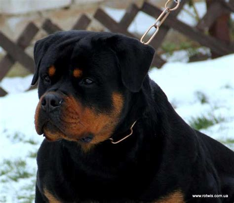 rottweiler ranch quot from house rotvis quot rottweiler kennel ukraine