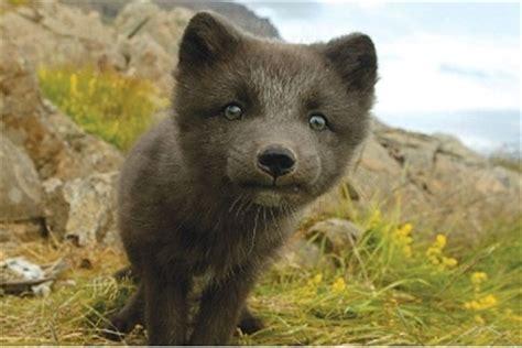 images  arctic fox  pinterest
