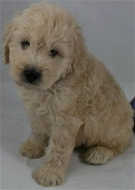 goldendoodle puppy allergies 1000 images about oodles of goldendoodles on