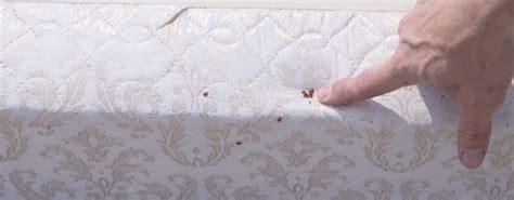 bed bug evidence how to get rid of bed bugs call 083 475 2880 pretoria