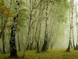birch forest pixdaus