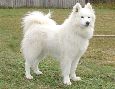 breed height samoyed breed guide learn about the samoyed
